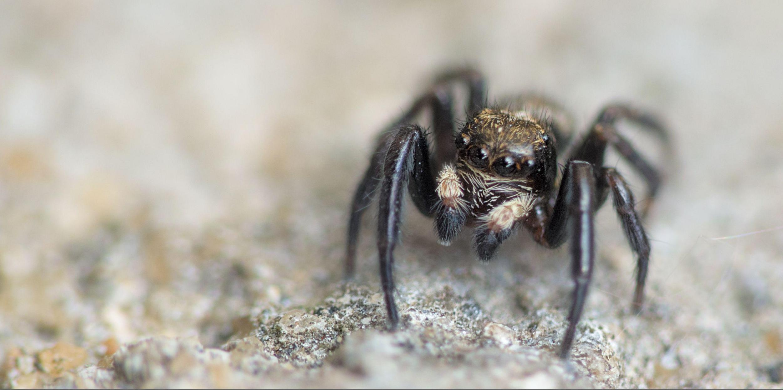 Araignée sauteuse sur un caillou, en gros plan