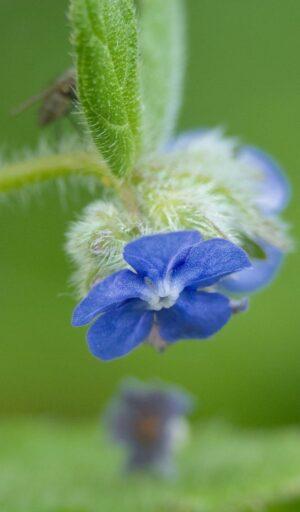 Fleur bleue sur fond vert