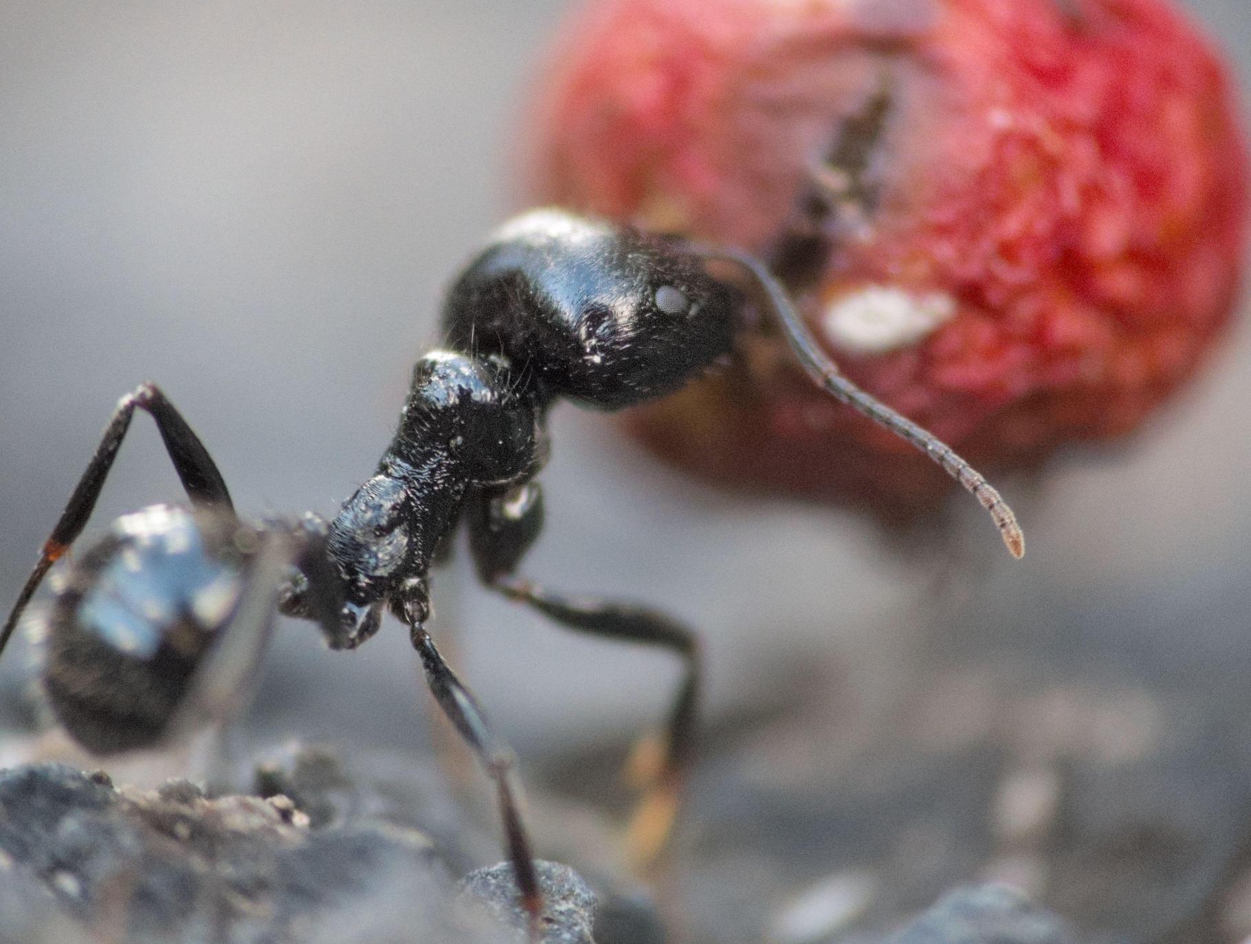 Fourmi poussant son petit fruit rouge, en gros plan